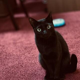 大人しい黒猫『じじ』。里親様募集です。