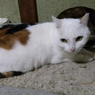 松戸市 三毛猫の女の子