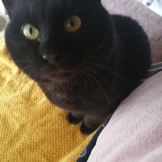 とても甘えん坊愛らしい黒猫白血病キャリア