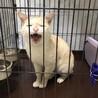 【3/7芝浦】穏やかで飼いやすい大人猫マッシュ