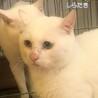 【白滝】綺麗なオッドアイの白猫