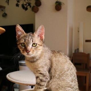【三ヶ月♀】キジトラ膝猫 たらこちゃん
