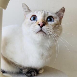 シャム系MIXのとても人懐っこい美猫さん