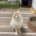 人馴れ抜群!綺麗なブルーアイのオトナ猫。