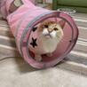 人馴れ抜群!綺麗なブルーアイのオトナ猫。 サムネイル2
