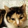魅惑のお腹をもつ三毛猫『チー』
