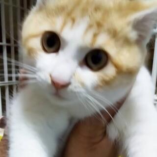 茶白子猫トンスケ
