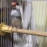 4歳の桜文鳥のオスです