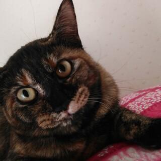 アニメのようなマズルが可愛いサビ猫オリビアです。