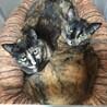 サビ猫親子 シュナと小町 2歳位と1歳 2匹一緒に