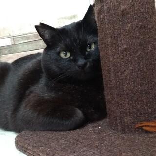 小熊みたいなまん丸黒猫 キリト 4~5歳位