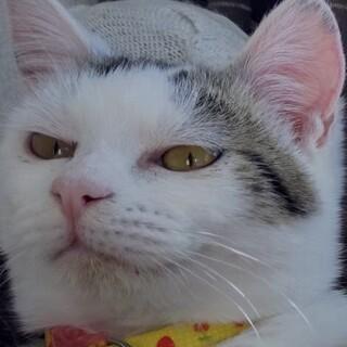 背中にハートのサバ白と鼻がチャームポイントのサバ猫