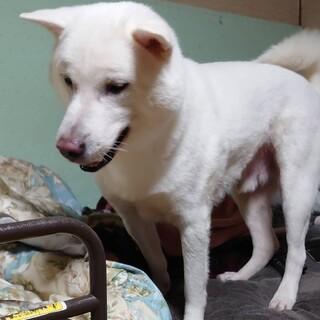 紀州犬 白い犬 和犬