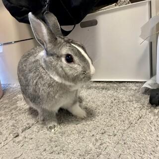 ウサギ、オス、グレー おとなしいケージ類付き
