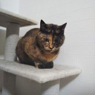 丸顔の可愛いサビ猫ディアちゃん