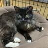 エイズ陽性の黒猫を保護しました。