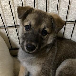 2ヶ月⭐︎仔犬ちゃんの家族を探してます。