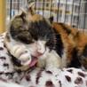 猫風邪治療中。三毛猫のティッシュちゃん サムネイル2