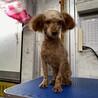 引退犬のトイプードルの里親募集致します。 サムネイル2