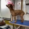 引退犬のトイプードルの里親募集致します。 サムネイル3