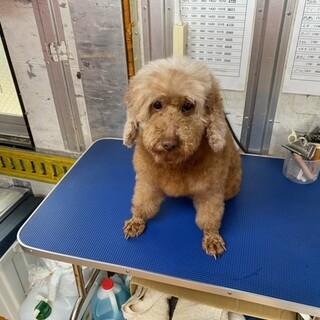 引退犬のトイプードルの里親募集致します。