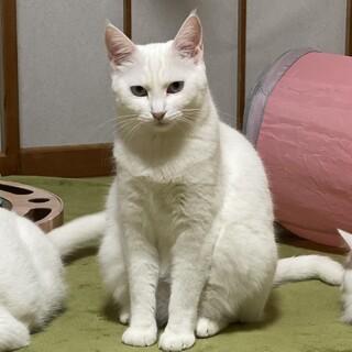 優しいママ猫 真っ白 真白♀