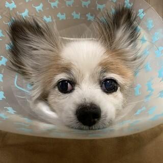 元気な老犬パピヨン