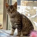 【こざこ】人馴れ訓練中のサバトラ仔猫ちゃん