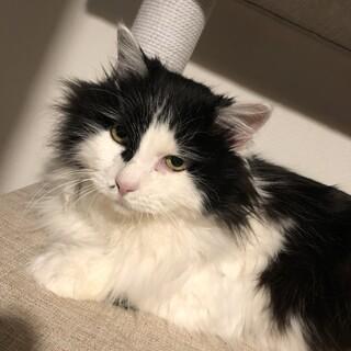 白黒長毛の大人猫♀