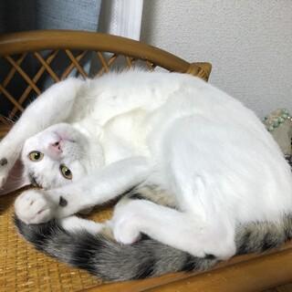 子猫7か月オス、去勢済、転居の都合で里親募集します