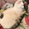 子猫7か月オス、去勢済、転居の都合で里親募集します サムネイル2