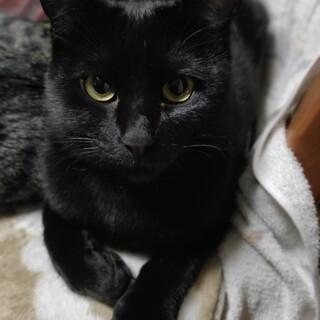 大阪藤井寺お見合い会参加猫チョビ♂黒猫