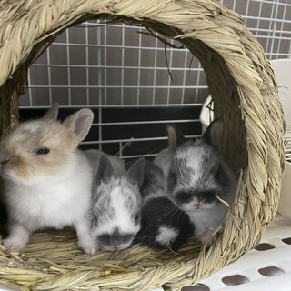 2月17日に産まれたミニウサギの赤ちゃん4羽です!