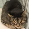 助けてください❗️幸せになりたい美猫なキジトラ女子 サムネイル2