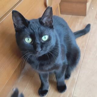 【小太郎♀】キレイな黒猫。穏やかな女の子