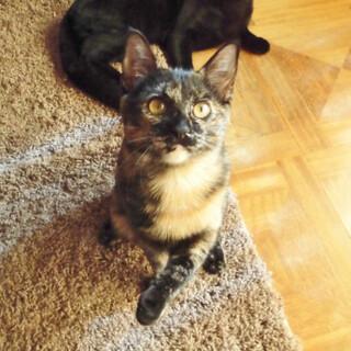 性格最高★猫は見た目じゃなく愛嬌よ シャビィ