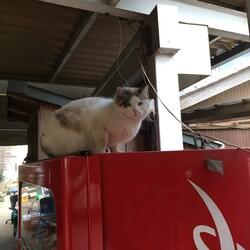 自販猫と散歩