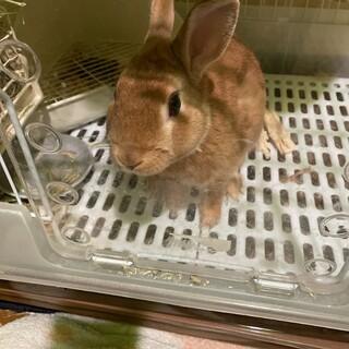 ミニウサギ 大人しい男の子です