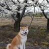 おっとり、甘えたちゃんの秋田犬 サムネイル2