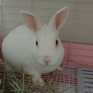 ミニウサギ、三才のみるくくん
