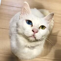 オッドアイの白猫妊婦を保護