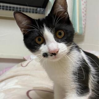 シュプリーム、人も猫も大好きな甘えん坊な男の子