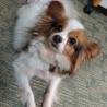 パピヨン6歳★ルナちゃん 繁殖引退犬 サムネイル6