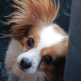 パピヨン6歳★ルナちゃん 繁殖引退犬