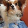 パピヨン6歳★ルナちゃん 繁殖引退犬 サムネイル2