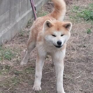 中型犬サイズの秋田犬