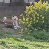 中型犬サイズの秋田犬 サムネイル3