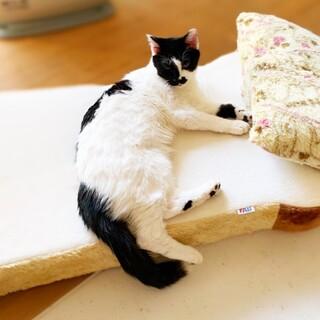 甘えっこの男の子 先住猫さんOK