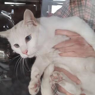 ブルーアイが魅力的☆白猫ラフくん