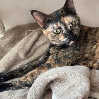 魅惑的なサビ猫 サビラちゃん
